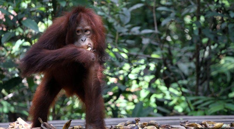 https: img-z.okeinfo.net content 2015 11 18 406 1251838 harga-mahal-orangutan-kerap-jadi-korban-h4E56E7Gpu.jpg