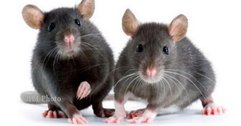 https: img-z.okeinfo.net content 2016 10 12 56 1512547 tikus-bernyanyi-saat-mencari-pasangan-Rhx4mKN8bt.jpg