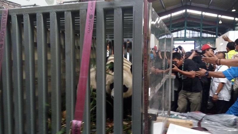 https: img-z.okeinfo.net content 2017 11 27 406 1821369 tengok-sepasang-panda-raksasa-pemerintah-tiongkok-kunjungi-indonesia-3W8UjnJ6KN.jpg