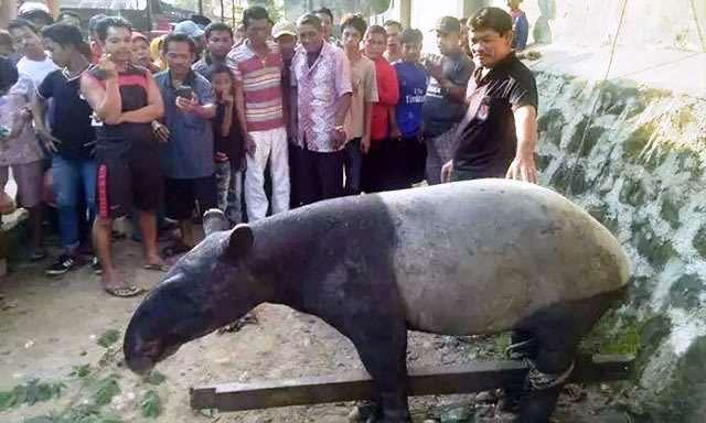 https: img-z.okeinfo.net content 2017 12 19 340 1832509 hewan-tapir-yang-ditemukan-warga-sempat-rusak-tanaman-dXtnBizGyR.jpg