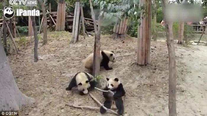 https: img-z.okeinfo.net content 2017 12 26 406 1836044 lagi-asyik-berduaan-2-panda-terkejut-temannya-jatuh-dari-pohon-T50S3T9IBO.jpg