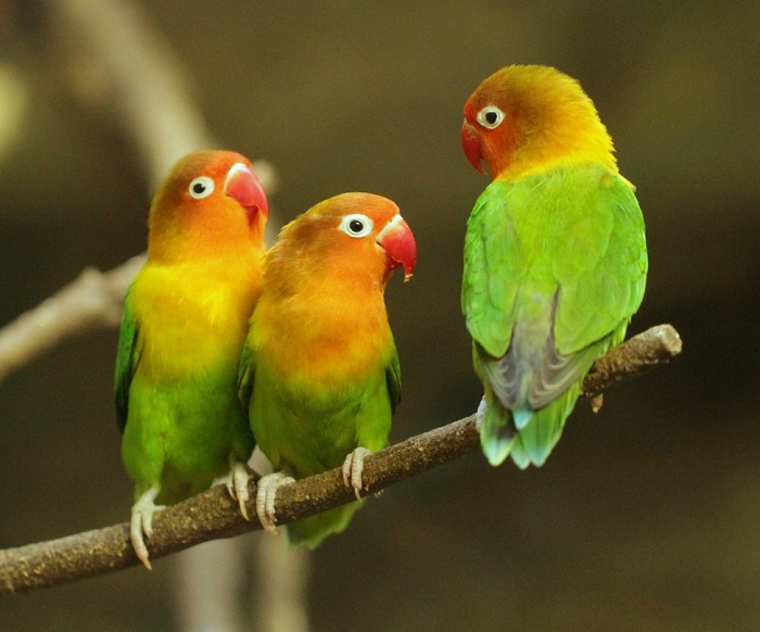 https: img-z.okeinfo.net content 2018 01 12 196 1844089 berkenalan-dengan-biji-ketapang-sf-komunitas-pencinta-burung-lovebird-eTl76vwdIh.jpg