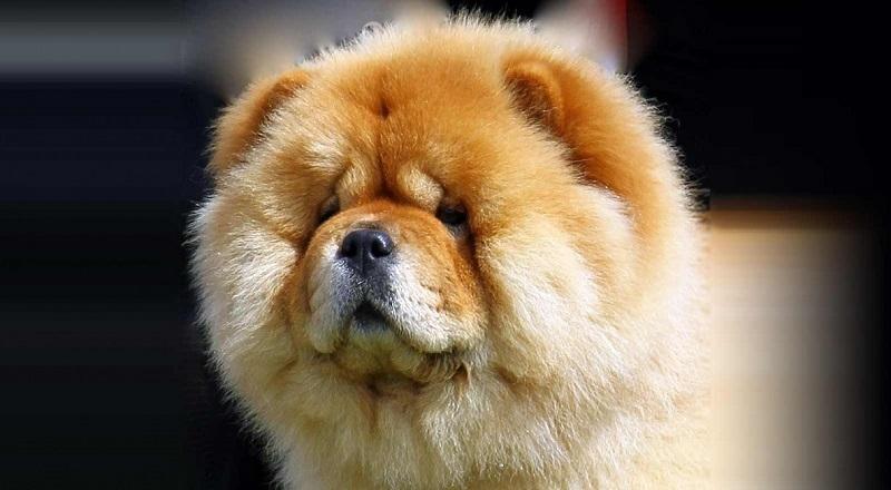 https: img-z.okeinfo.net content 2018 01 12 196 1844112 5-anjing-ras-dengan-biaya-perawatan-termahal-di-dunia-nomor-5-paling-menggemaskan-BRFn2RnYfj.jpg