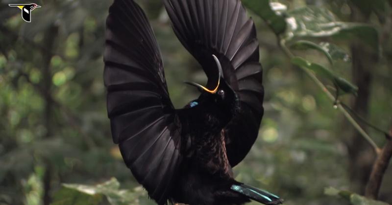 https: img-z.okeinfo.net content 2018 01 12 56 1844222 serap-99-96-cahaya-burung-cenderawasih-berbulu-sangat-hitam-uOodJDu8j5.jpg