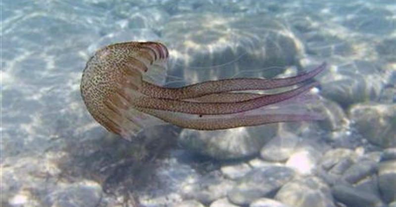 https: img-z.okeinfo.net content 2018 02 09 56 1857335 ubur-ubur-penyebab-utama-kematian-ikan-salmon-benarkah-bulhKydM3s.jpg