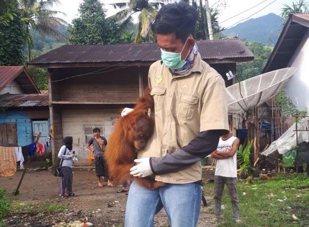 https: img-z.okeinfo.net content 2018 02 15 340 1860339 lemas-tak-berdaya-bayi-orangutan-sumatera-dievakuasi-di-aceh-tenggara-NImDzeVQxo.jpg