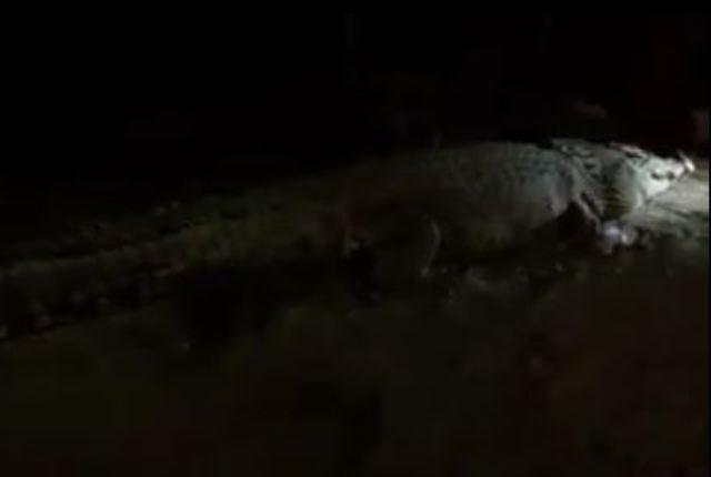 https: img-z.okeinfo.net content 2018 04 17 340 1887679 buaya-sungai-palu-bertamu-malam-malam-warga-beri-seekor-ayam-sebagai-santapan-65Lis52xNq.JPG