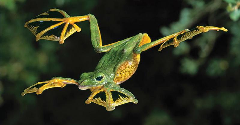 https: img-z.okeinfo.net content 2018 06 23 56 1913167 saat-terancam-katak-ini-mampu-terbang-setinggi-50-kaki-RgY7MJDfa3.jpg