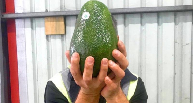 https: img-z.okeinfo.net content 2018 07 12 298 1921381 ini-dia-alpukat-raksasa-australia-beratnya-capai-1-7-kg-per-buah-hwXZor4cNH.jpg