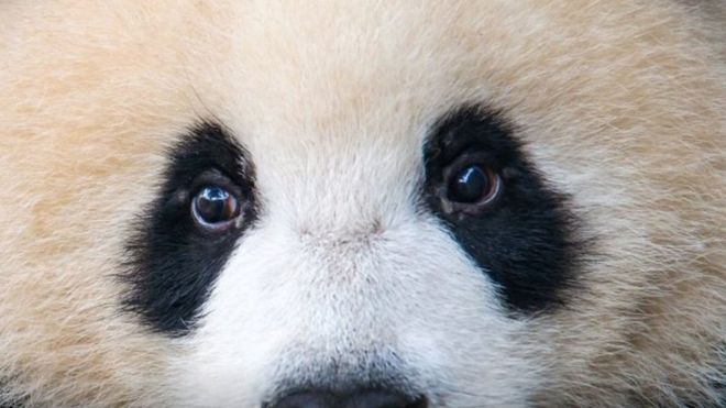 https: img-z.okeinfo.net content 2018 10 04 18 1959456 ibu-panda-ini-ditipu-agar-bayi-kembar-yang-dilahirkan-selamat-CKd2VX7dkj.jpg