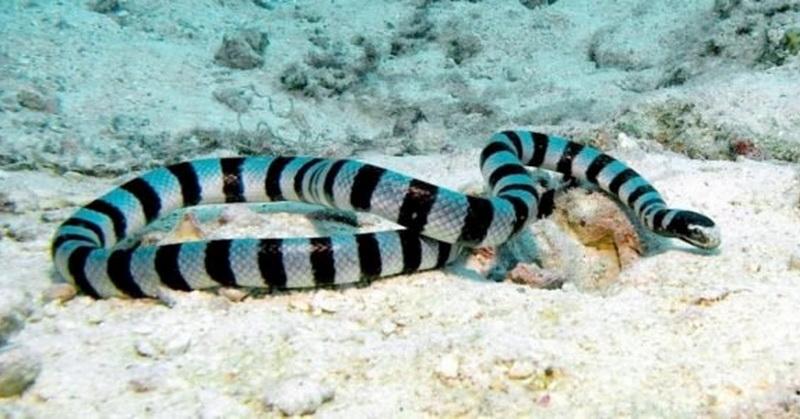 https: img-z.okeinfo.net content 2018 10 08 56 1961292 kenali-banded-sea-krait-ular-berbisa-yang-hidup-di-air-dan-darat-5mRkayqYLy.jpg