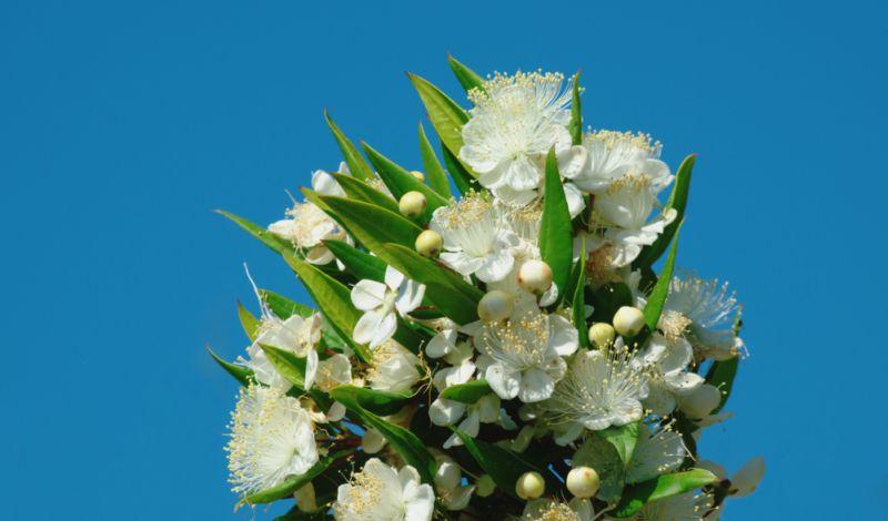 https: img-z.okeinfo.net content 2018 10 12 196 1962903 ikuti-tradisi-wajib-royal-wedding-putri-eugenie-akan-bawa-bunga-myrtus-zRe9tENXJ2.jpg