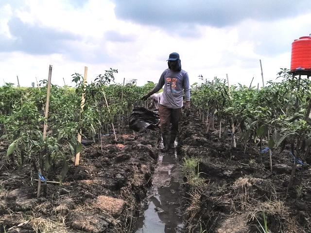 https: img-z.okeinfo.net content 2018 10 12 340 1963271 bagaimana-pertanian-kalsel-tetap-hidup-meski-dikelilingi-rawa-dan-tanah-kering-5EDMuBUia2.jpg