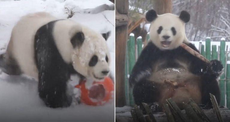 https: img-z.okeinfo.net content 2018 11 02 406 1972595 pertama-kali-rasakan-salju-2-panda-ini-lakukan-aksi-lucu-ZphMynGDAw.jpg