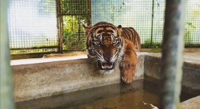https: img-z.okeinfo.net content 2018 11 22 340 1981210 dikarantina-harimau-atan-yang-tersesat-dalam-ruko-alami-depresi-DAb0t7eEbY.jpg