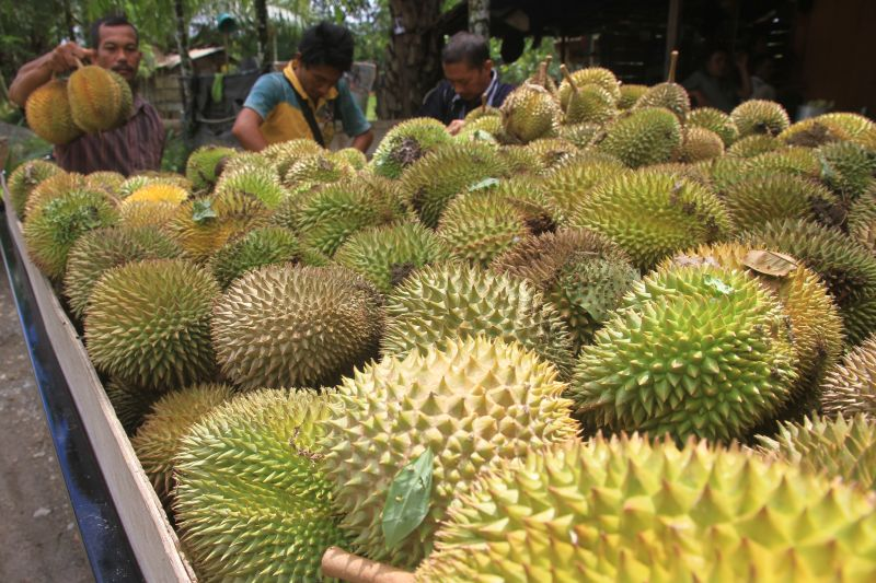 https: img-z.okeinfo.net content 2018 11 26 320 1982934 industri-durian-di-malaysia-membunuh-harimau-malaya-NUwkqpQn7q.jpg