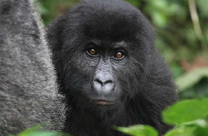 https: img-z.okeinfo.net content 2018 12 07 56 1988007 daur-ulang-ponsel-selamatkan-populasi-gorila-benarkah-UGmU7f03fR.jpg
