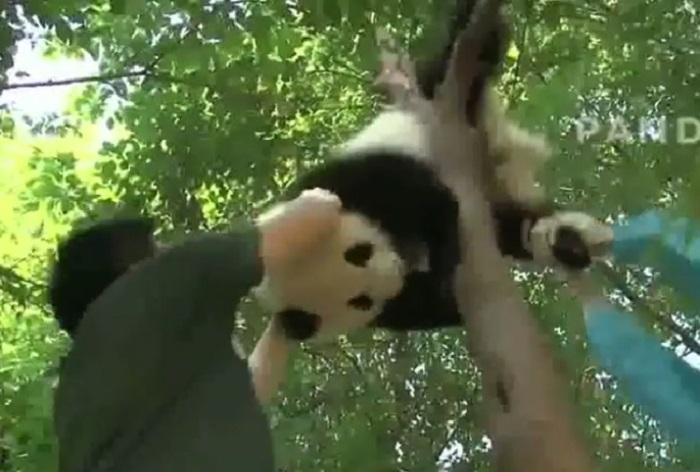 https: img-z.okeinfo.net content 2019 01 14 406 2004461 kasihan-panda-ini-tersangkut-di-pohon-hingga-harus-ditarik-tqs2sWS15b.jpg