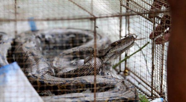 https: img-z.okeinfo.net content 2019 01 16 510 2005087 ular-piton-bermunculan-di-gunungkidul-melukai-beberapa-warga-ZwuCDBAZoe.jpg