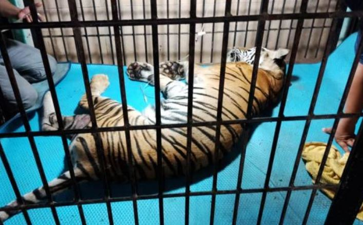 https: img-z.okeinfo.net content 2019 01 28 340 2010544 bangkai-harimau-ayu-di-taman-rimba-jambi-akhirnya-dibakar-Bco0s11UVG.JPG