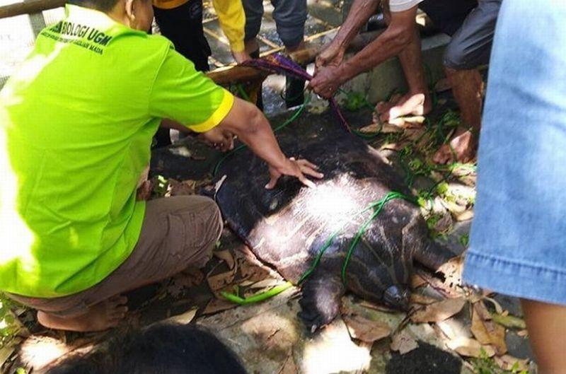 https: img-z.okeinfo.net content 2019 02 07 510 2014813 warga-yogyakarta-temukan-bulus-raksasa-berumur-50-tahun-panjangnya-1-meter-b2seVaN0kv.jpg