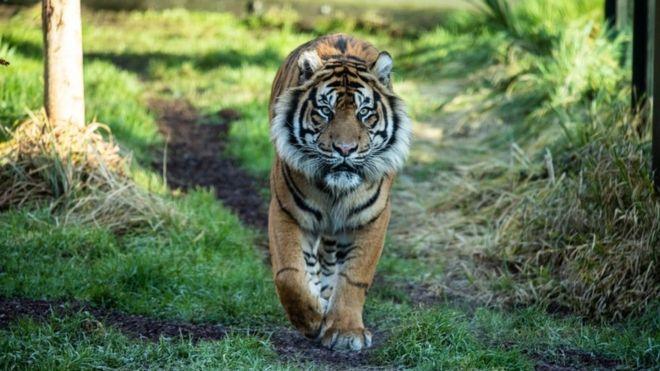 https: img-z.okeinfo.net content 2019 02 10 18 2015911 melati-si-harimau-sumatera-mati-di-kebun-binatang-london-saat-dijodohkan-dengan-pejantan-wa69vXIVoT.jpg