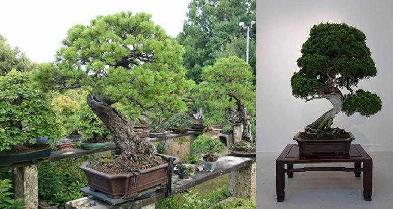 https: img-z.okeinfo.net content 2019 02 13 196 2017621 bonsai-langka-senilai-rp1-2-miliar-raib-digondol-maling-seperti-ini-penampakannya-ViuMT2VPTb.jpg