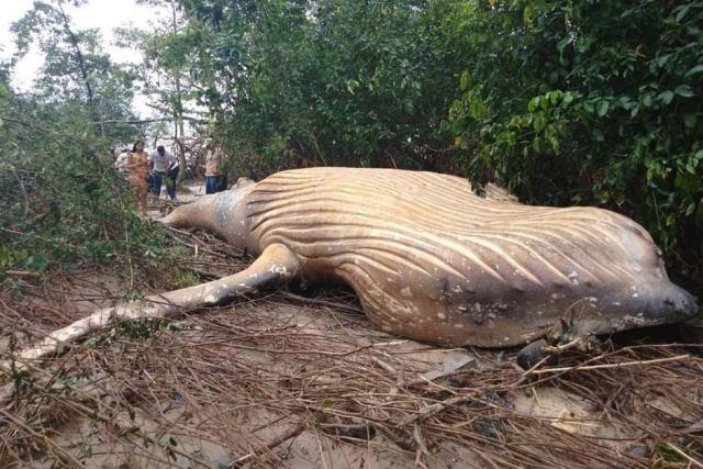https: img-z.okeinfo.net content 2019 02 25 18 2022617 paus-sepanjang-8-meter-ditemukan-di-hutan-amazon-wkvj9NDOik.jpg