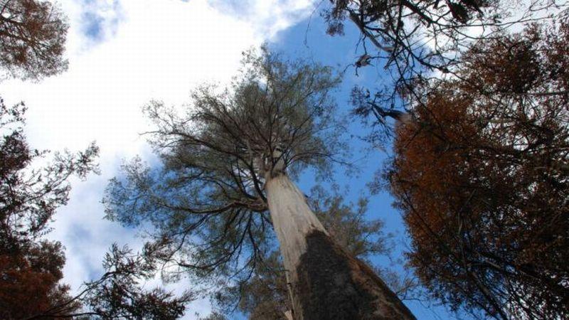 https: img-z.okeinfo.net content 2019 02 27 18 2023336 diterjang-kebakaran-hutan-pohon-tertinggi-di-australia-tetap-kokoh-epjTuxppVo.jpg