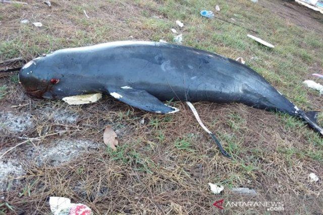 https: img-z.okeinfo.net content 2019 04 06 340 2039896 lumba-lumba-tak-bersirip-ditemukan-mati-hampir-membusuk-di-riau-KFajVSJTeg.jpeg