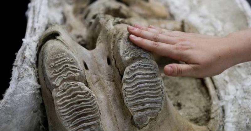 https: img-z.okeinfo.net content 2019 04 12 56 2042785 ditemukan-fosil-dari-zaman-es-di-bawah-los-angeles-2A7vGqJtFh.jpg