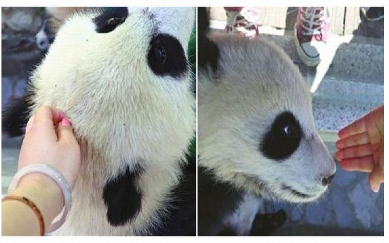 https: img-z.okeinfo.net content 2019 04 22 406 2046570 sentuh-bayi-panda-wanita-ini-diserbu-netizen-vb8HFNCl4n.jpg