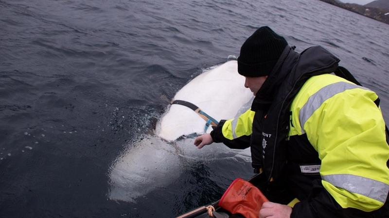 https: img-z.okeinfo.net content 2019 04 30 18 2049714 seekor-paus-putih-mata-mata-dari-rusia-ditemukan-di-pantai-norwegia-CKkN6Fi4uM.jpg