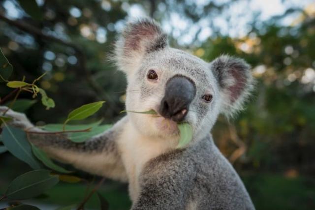 https: img-z.okeinfo.net content 2019 05 20 18 2058087 kendalikan-populasi-koala-di-australia-akan-dipasangi-kb-fzfGQGpL4k.jpg