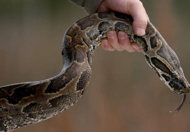 https: img-z.okeinfo.net content 2019 06 02 340 2063258 petani-di-buton-tewas-dililit-ular-phyton-sepanjang-7-meter-q9cJ9Omjat.JPG