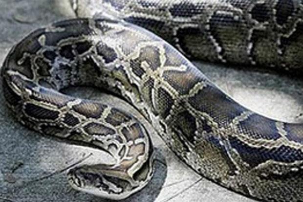 https: img-z.okeinfo.net content 2019 06 03 340 2063292 kronologi-perempuan-paruh-baya-tewas-diterkam-ular-piton-di-buton-rqFVs0sjj0.jpg