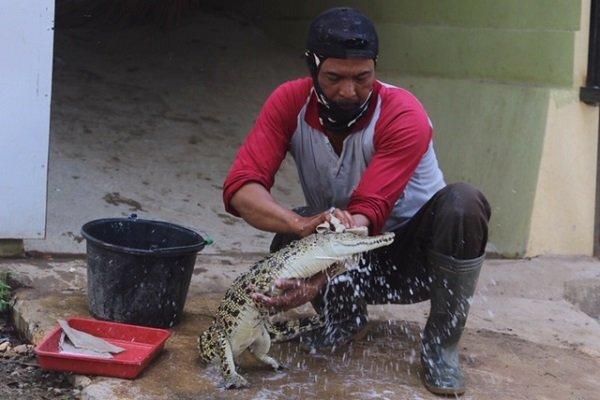 https: img-z.okeinfo.net content 2019 07 08 512 2076142 kisah-pawang-buaya-perlakukan-hewan-seperti-anak-sendiri-NNZfxG1g9M.jpg