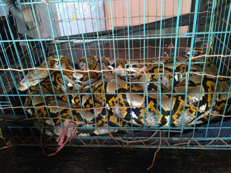 https: img-z.okeinfo.net content 2019 07 09 338 2076592 tiga-ular-sanca-hebohkan-warga-kepulauan-seribu-V9oAGCud0L.jpg