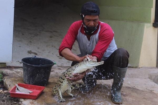 https: img-z.okeinfo.net content 2019 07 11 512 2077483 kisah-pawang-buaya-jurug-solo-zoo-perlakukan-hewan-seperti-anak-sendiri-UdcqWAjKKH.jpg