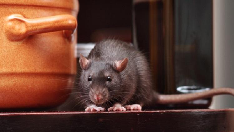 https: img-z.okeinfo.net content 2019 07 15 481 2078935 viral-video-tikus-makan-makanan-di-warteg-ini-bahaya-yang-mengintai-BIU8gIHJLK.jpg