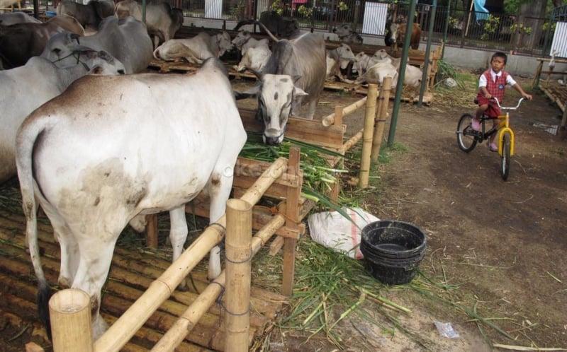 https: img-z.okeinfo.net content 2019 07 20 337 2081276 ada-izin-khusus-yang-diberikan-ke-sapi-dan-kambing-sebelum-dikurbankan-26ebM0R4nW.jpg