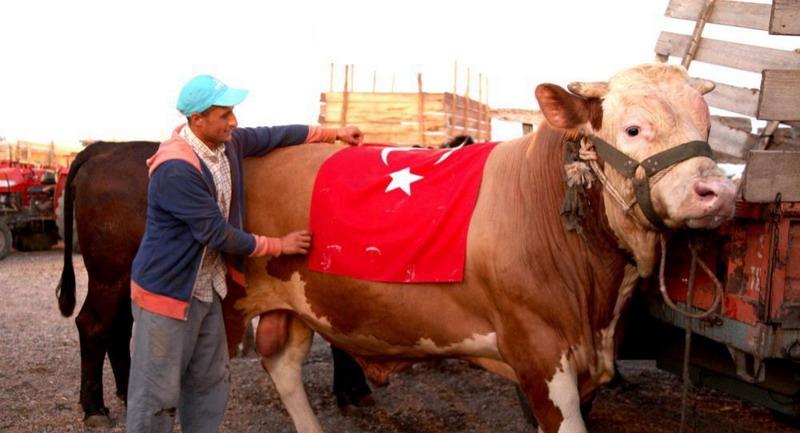 https: img-z.okeinfo.net content 2019 08 10 18 2090276 dukung-erdogan-sapi-kurban-di-turki-dinamai-seperti-sistem-rudal-rusia-cZOFfrYyLZ.jpg