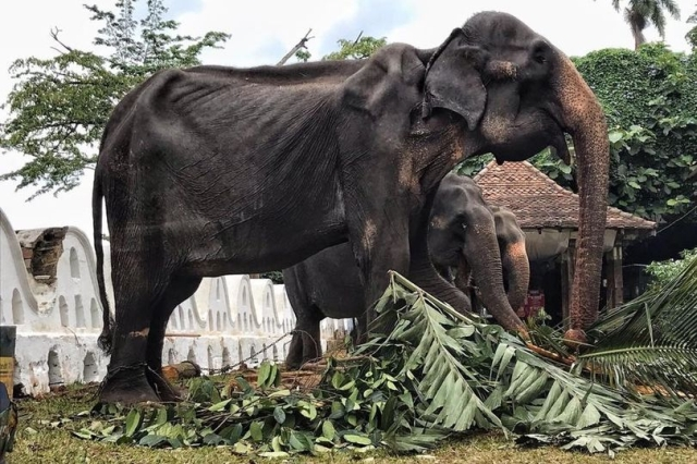 https: img-z.okeinfo.net content 2019 08 15 18 2092373 gajah-ceking-berusia-70-tahun-dipaksa-berparade-ikut-festival-di-sri-lanka-XB0jZVJgJV.jpg