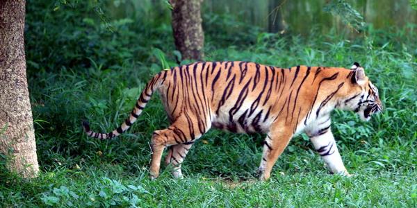 https: img-z.okeinfo.net content 2019 08 24 340 2096052 kemarau-panjang-harimau-sumatera-turun-gunung-ke-kebun-sawit-XM2ay6vAoL.jpg