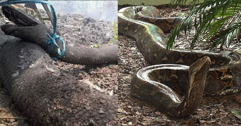 https: img-z.okeinfo.net content 2019 09 19 612 2106730 fakta-mengejutkan-tangkalaluk-ular-misterius-dari-kalimantan-Zm4QpJJebG.jpg