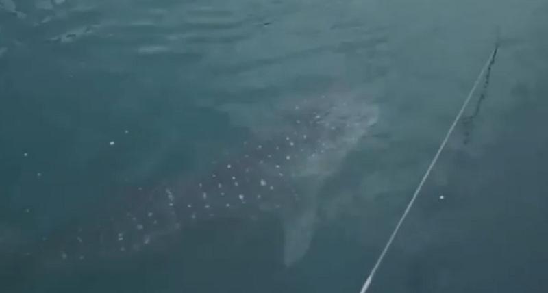 https: img-z.okeinfo.net content 2019 09 20 320 2107325 hiu-paus-kok-bisa-tersesat-ke-pltu-paiton-ternyata-ini-sebabnya-OuumNll9Wb.jpg