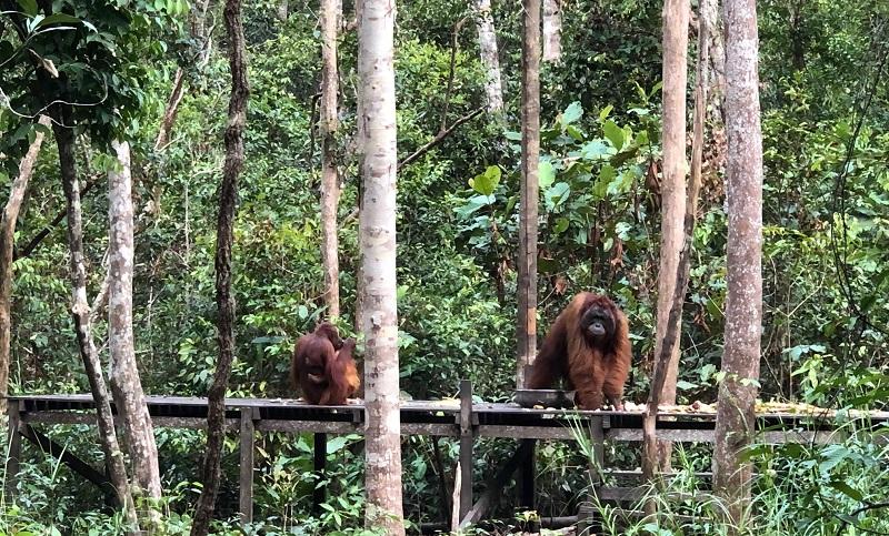 https: img-z.okeinfo.net content 2019 09 30 406 2111096 pariwisata-tanjung-puting-bantu-keberlangsungan-hidup-orangutan-UWHD5KhX7Z.jpg