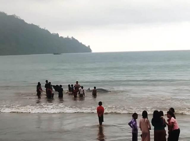 https: img-z.okeinfo.net content 2019 10 07 340 2114064 hiu-tutul-tewas-terdampar-di-perairan-laut-batang-kapas-jeJrYatv3d.jpg