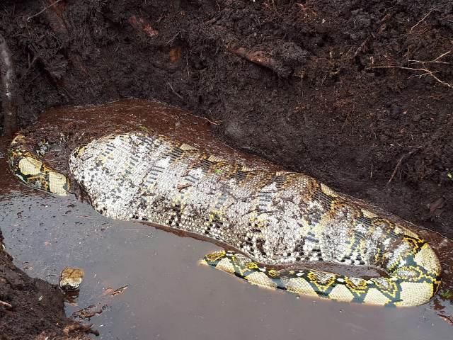 https: img-z.okeinfo.net content 2019 10 23 340 2120894 ular-piton-raksasa-ditemukan-sedang-makan-babi-di-kebun-sawit-537kZayjSM.jpg
