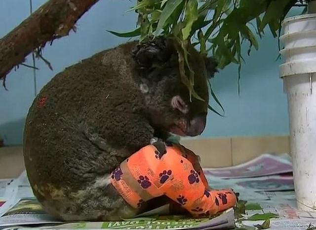 https: img-z.okeinfo.net content 2019 11 28 18 2135615 koala-korban-kebakaran-hutan-australia-disuntik-mati-karena-terluka-parah-bwSPt8LEA5.jpg